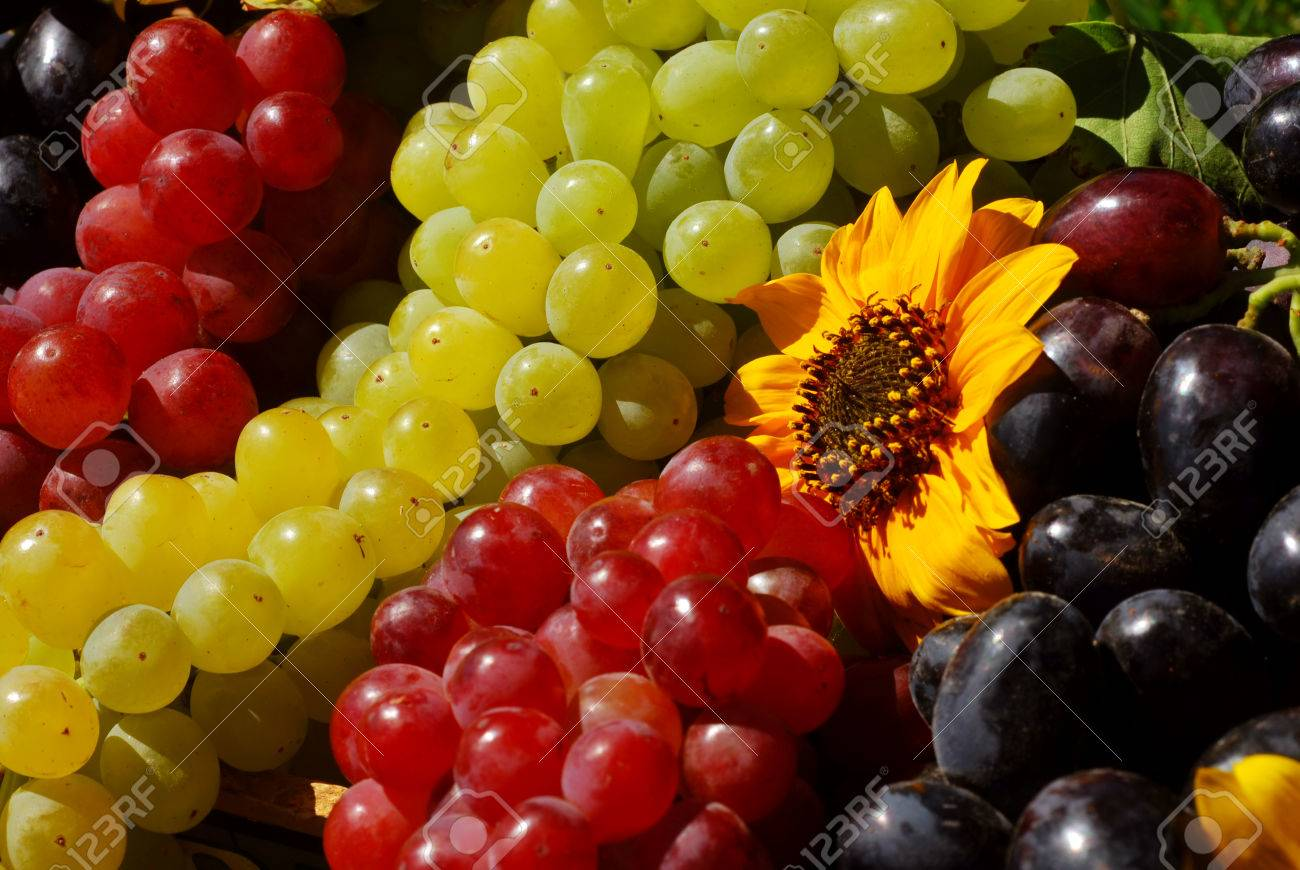 Bunches of grapes and sunflowers in a vintage wooden fruit box picked fresh from the garden (part of a series) Stock Photo - 1545659