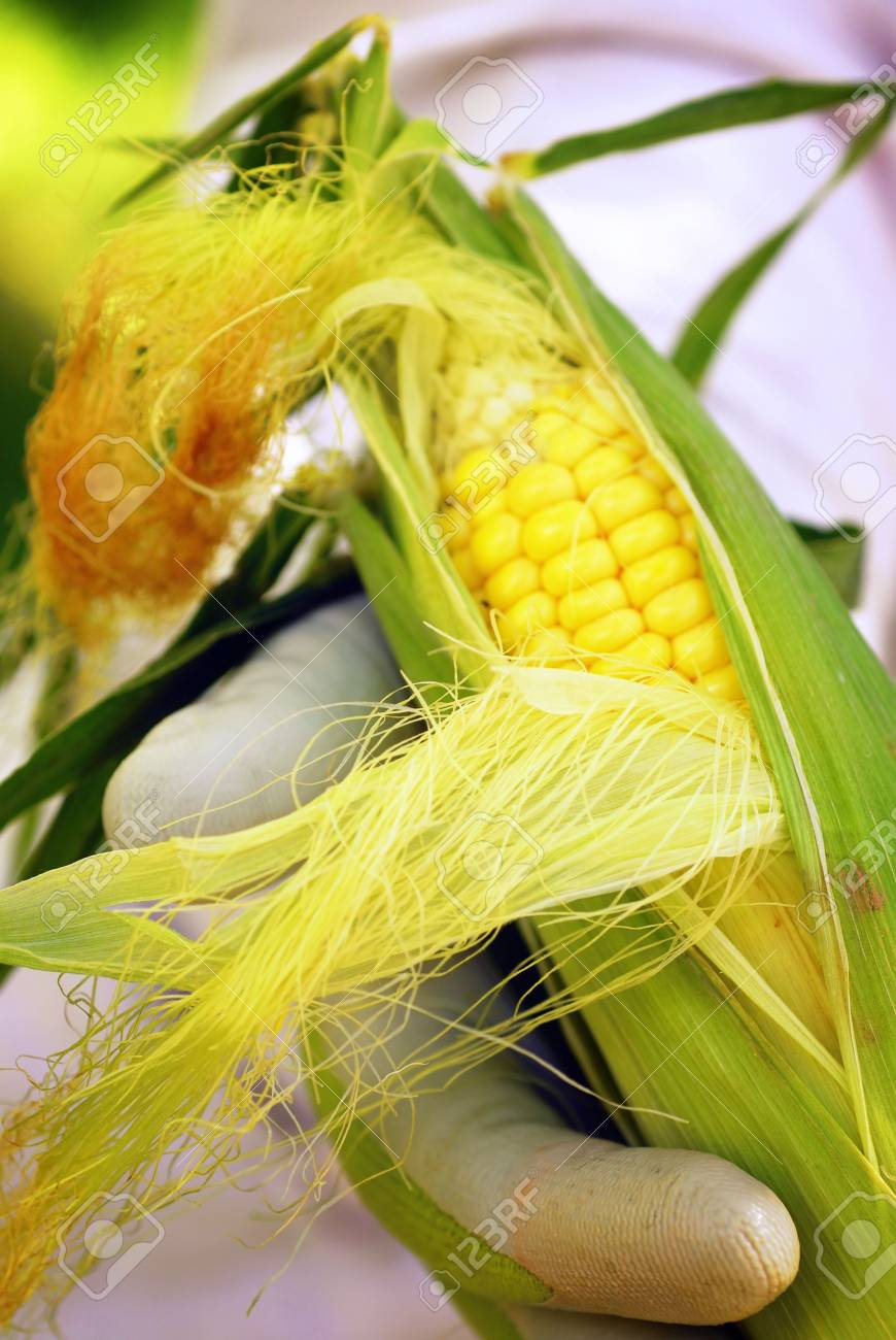 Home gardener holding corn on the cob picked fresh from the garden Stock Photo - 2155015