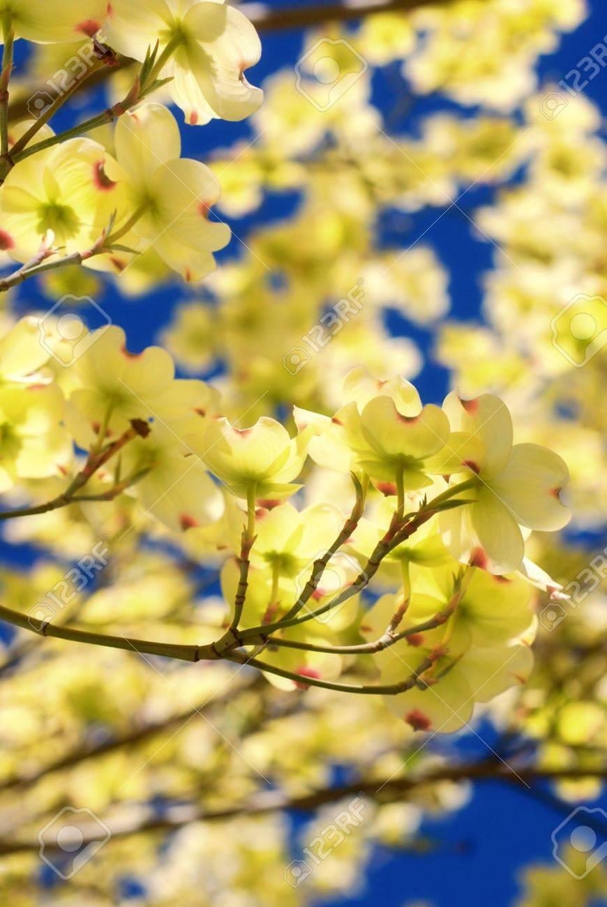 Eastern Flowering Dogwood Tree Cornus Florida Stock Photo
