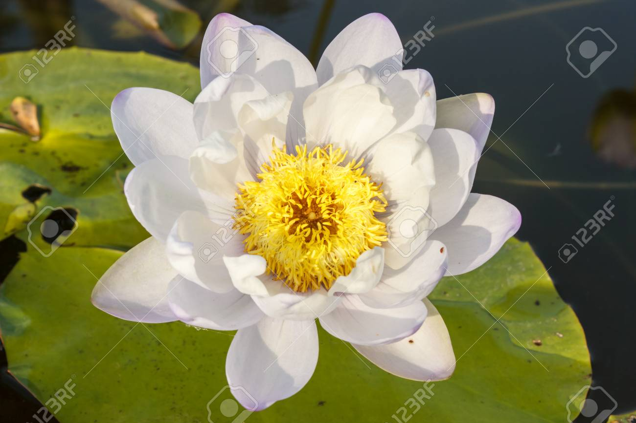 White and orange lotus flower in water stock photo picture and stock photo white and orange lotus flower in water izmirmasajfo