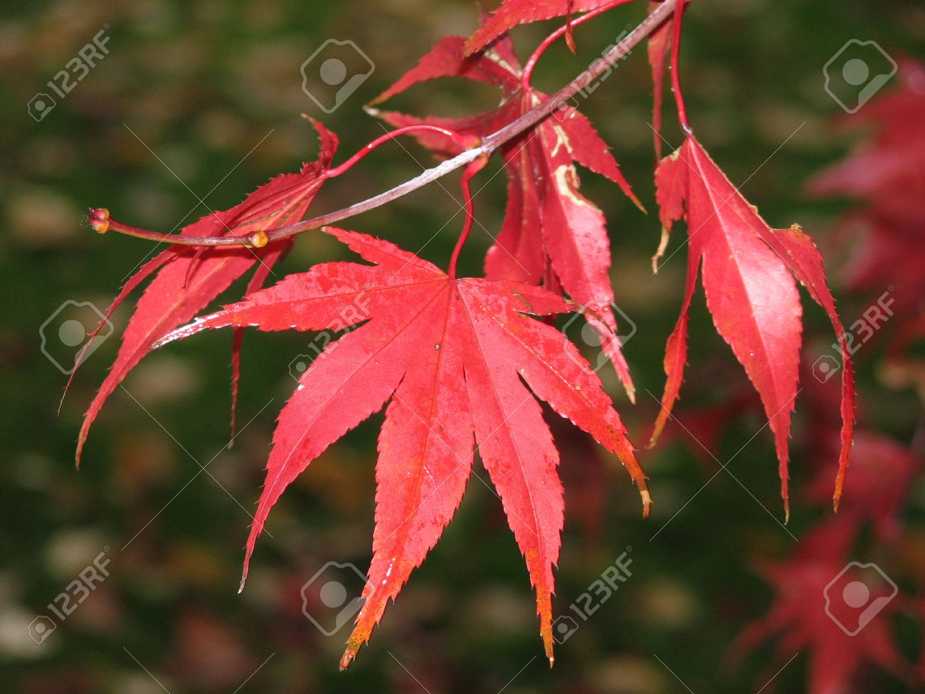 Close Up Of A Bright Red Maple Tree Leaf Stock Photo Picture And