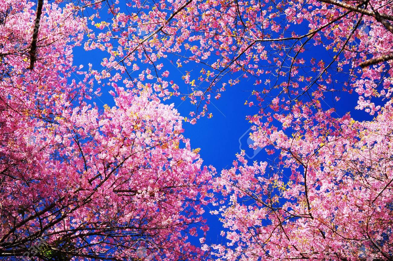 Full Bloom Pink Sakura Flowers with Blue Sky Stock Photo - 24434694