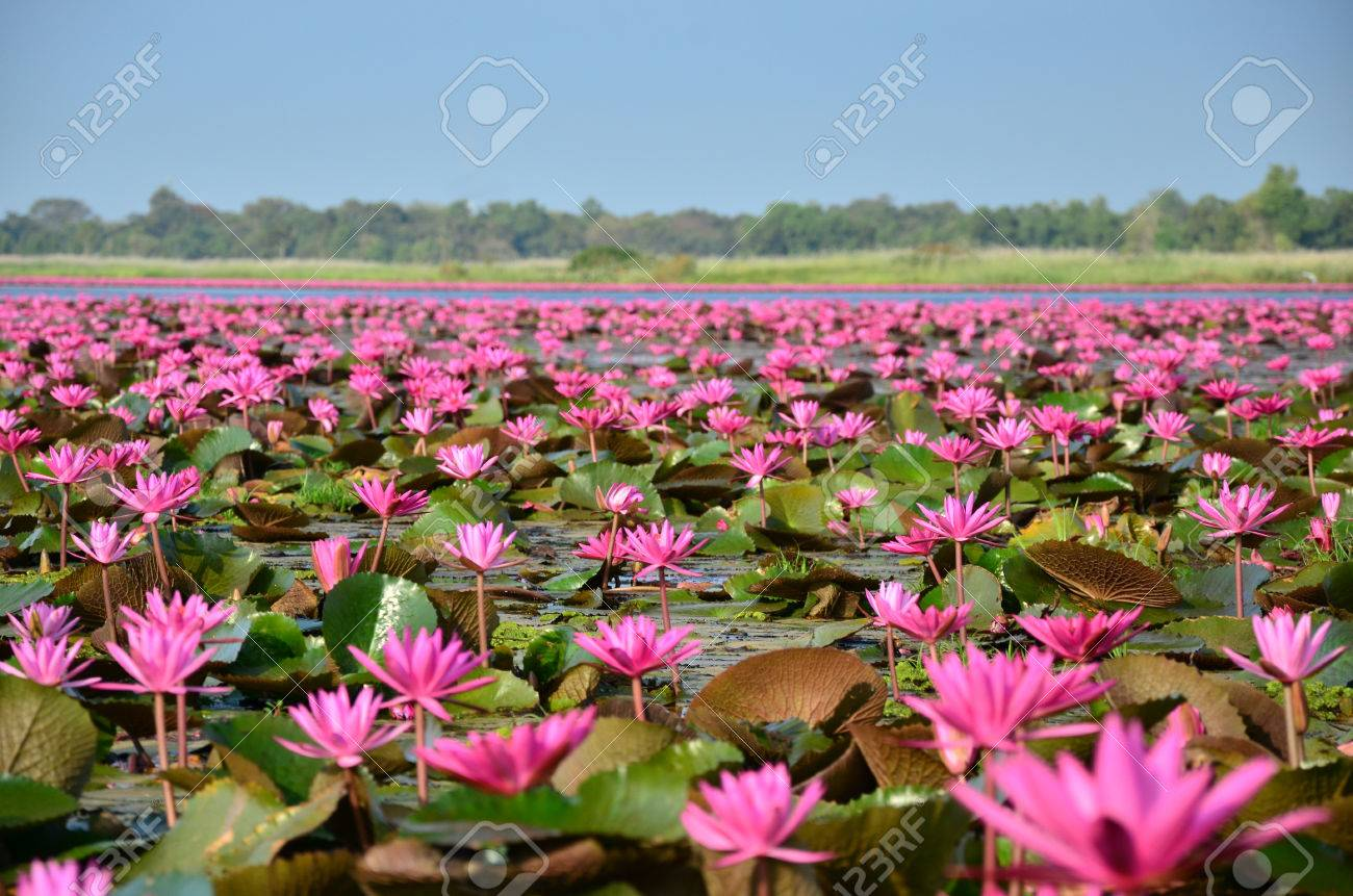Group Of Lotus Flower In The Pond Stock Photo Picture And Royalty