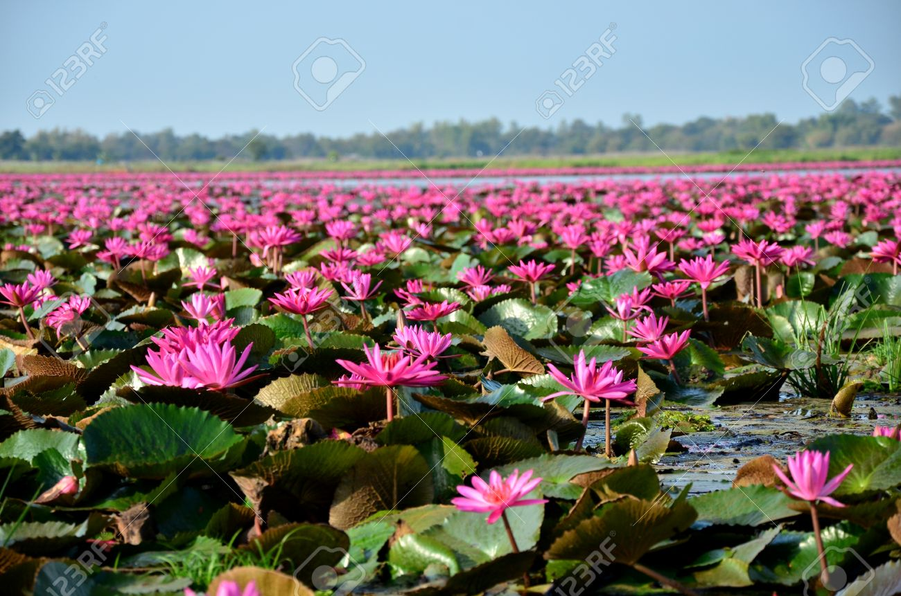 Lotus Flowers Lake Stock Photo Picture And Royalty Free Image