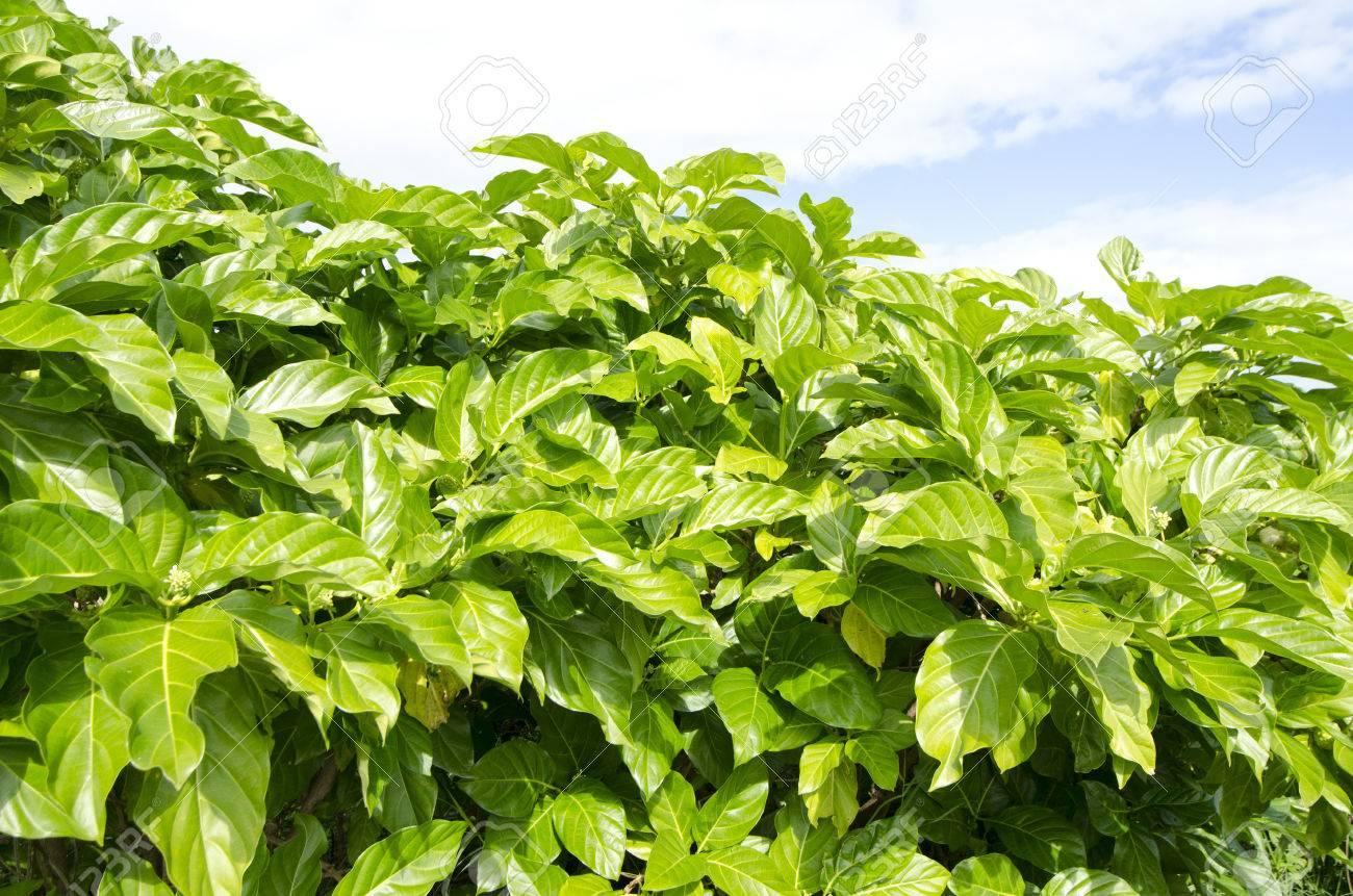 Great Morinda, Indian Mulberry - 50529478