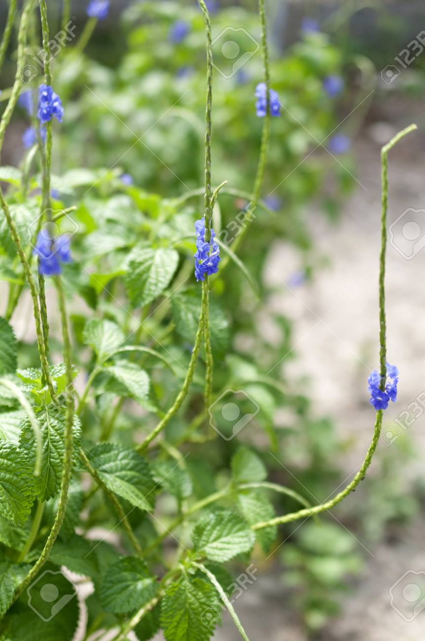 Tiny Blue Flowers Stachytarpheta Stock Photo Picture And Royalty