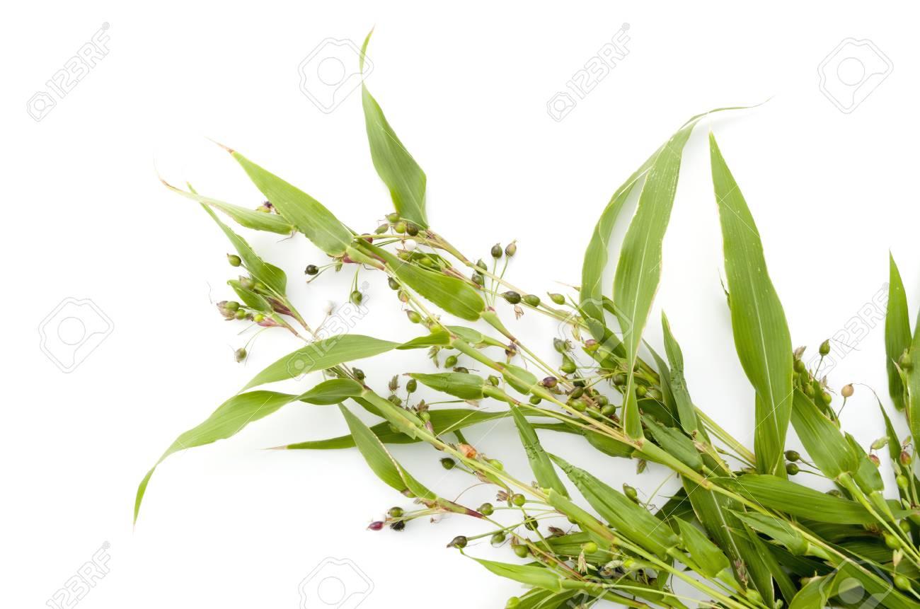 Job's tears (coix lachryma-jobi) of wild grass on white background - 91532318
