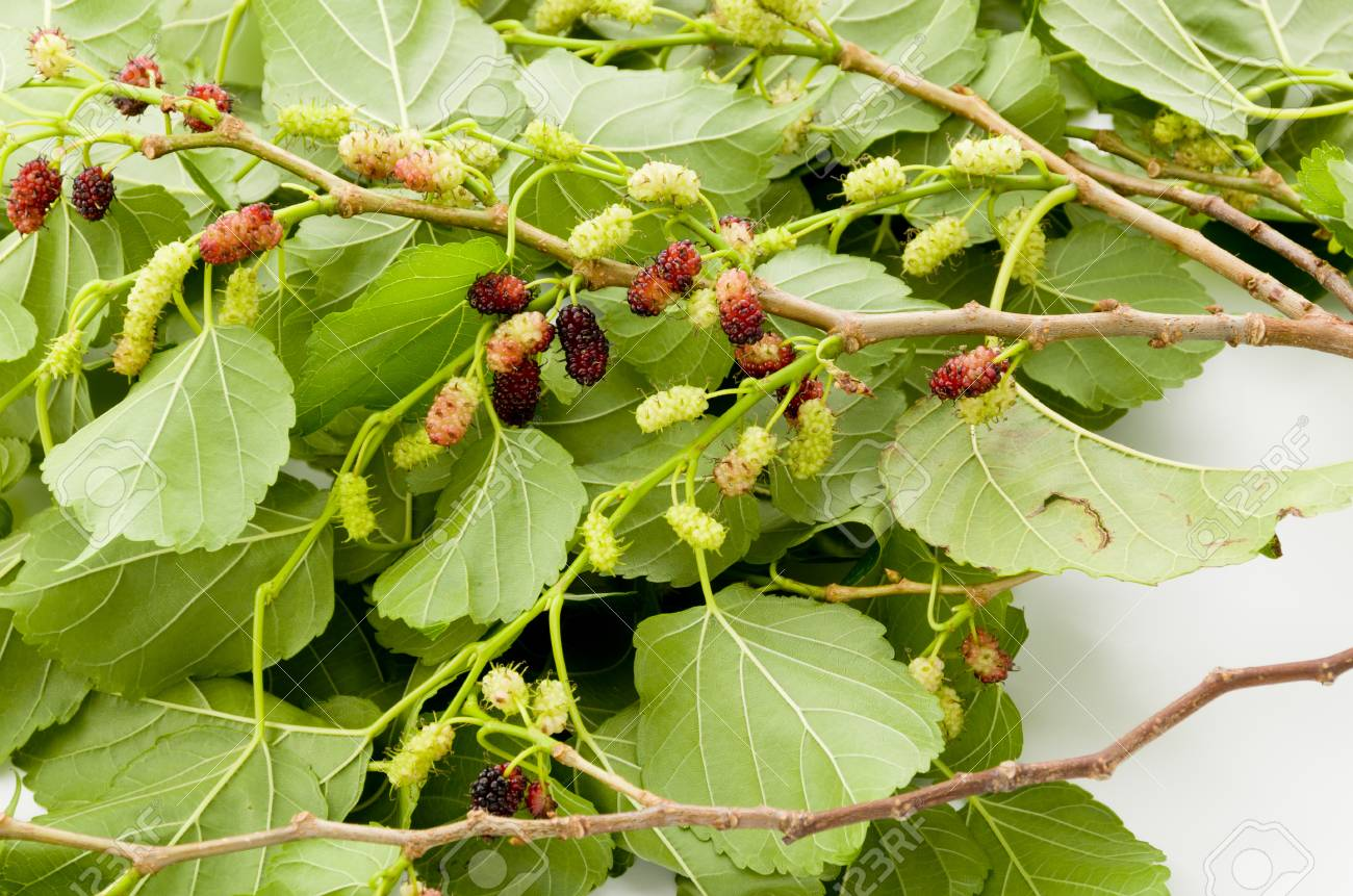 Mulberry Fruit Tree Images