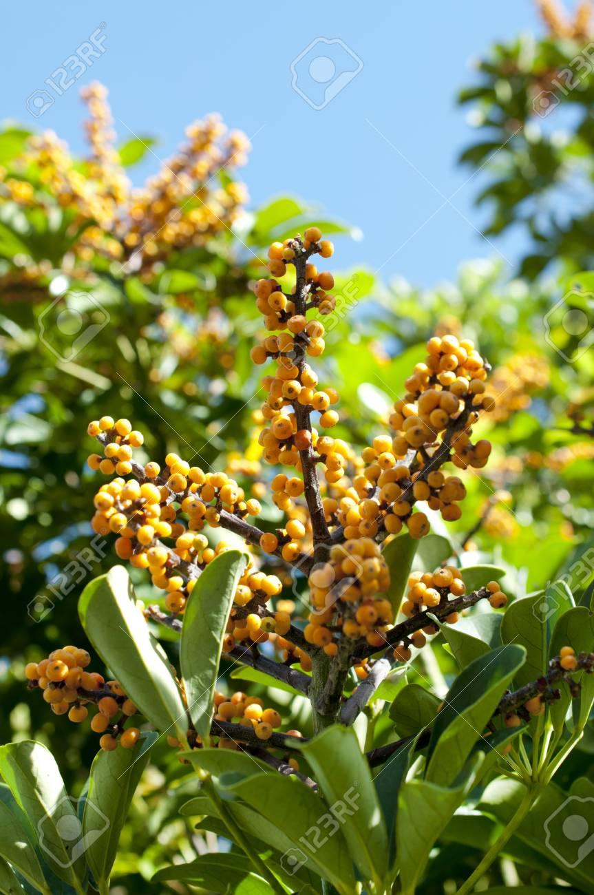 Schefflera Arboricola, Dwarf Schefflera Stock Photo   93683079