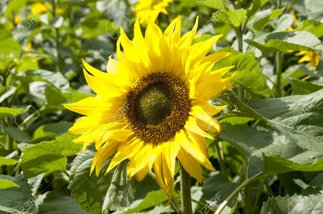 Sunflowers Garden Sunflower Blooming Stock Photo Picture And