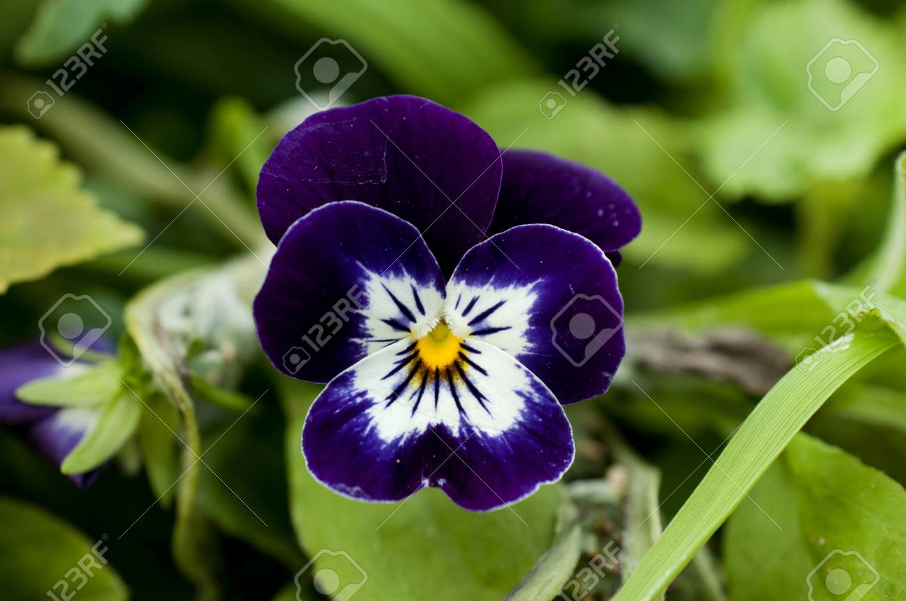 Violet And White And Yellow Colored Viola Stock Photo Picture And