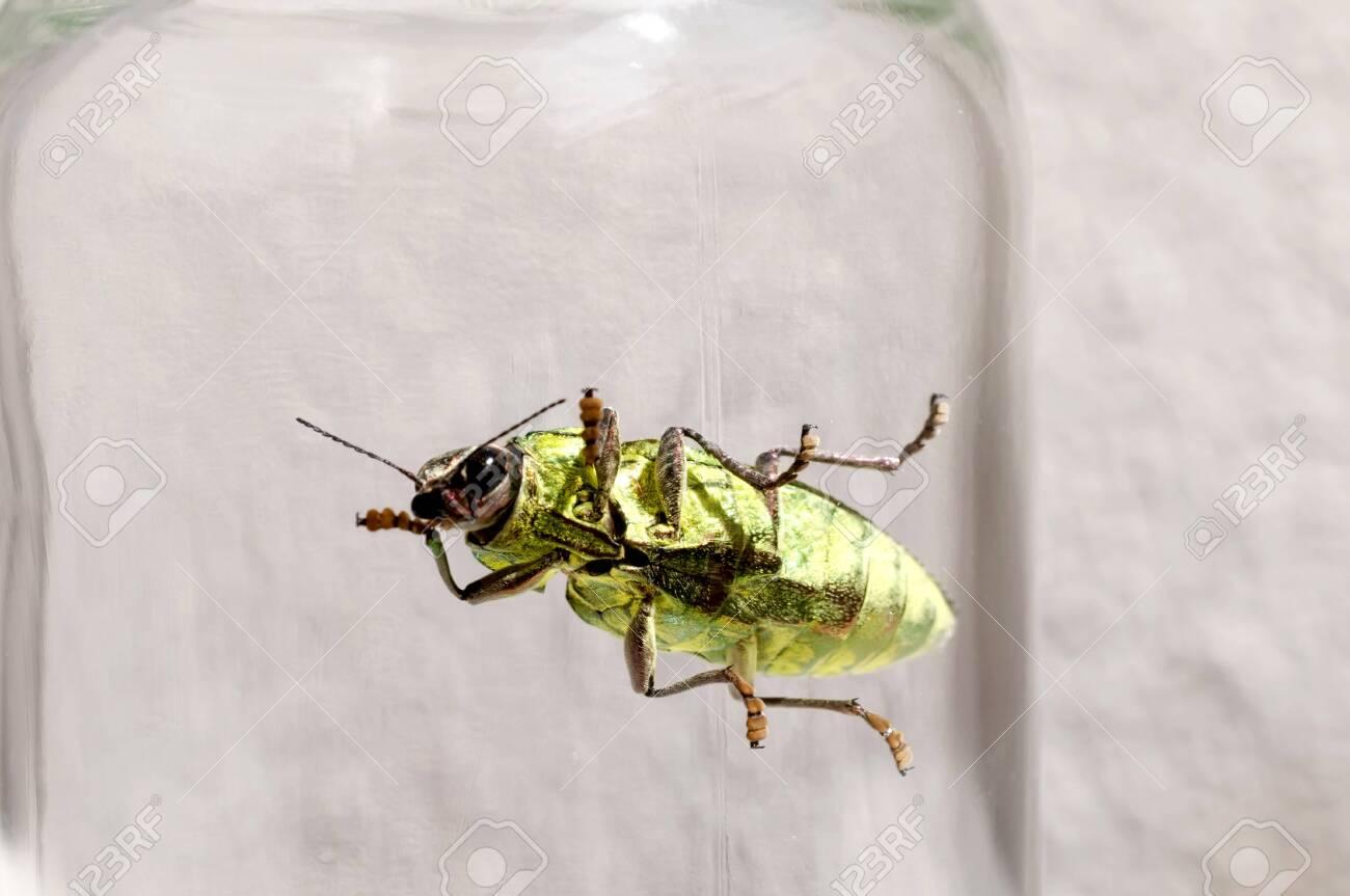 Jewel beetle, Buprestidae, Chrysodema dalmanni - 149524814