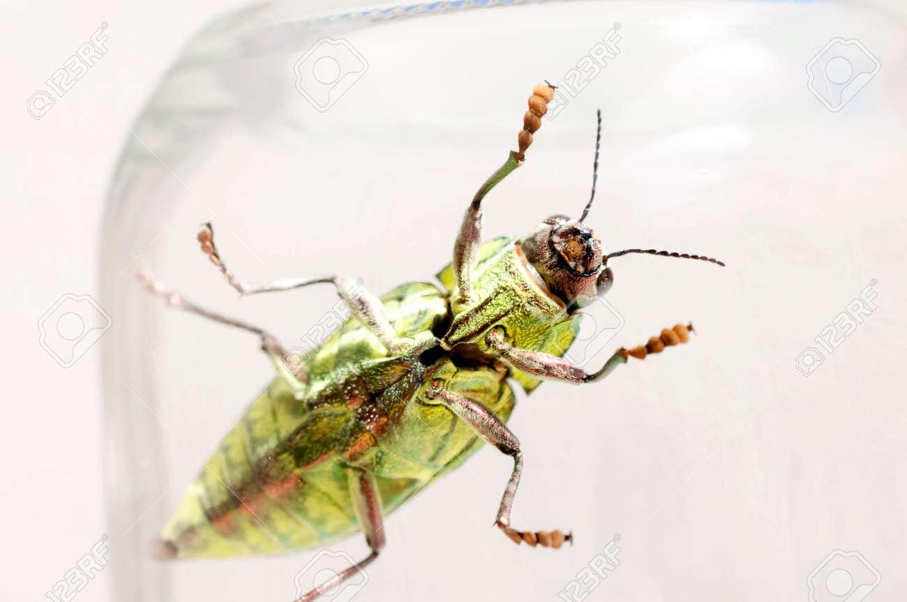 Jewel beetle, Buprestidae, Chrysodema dalmanni - 146291224