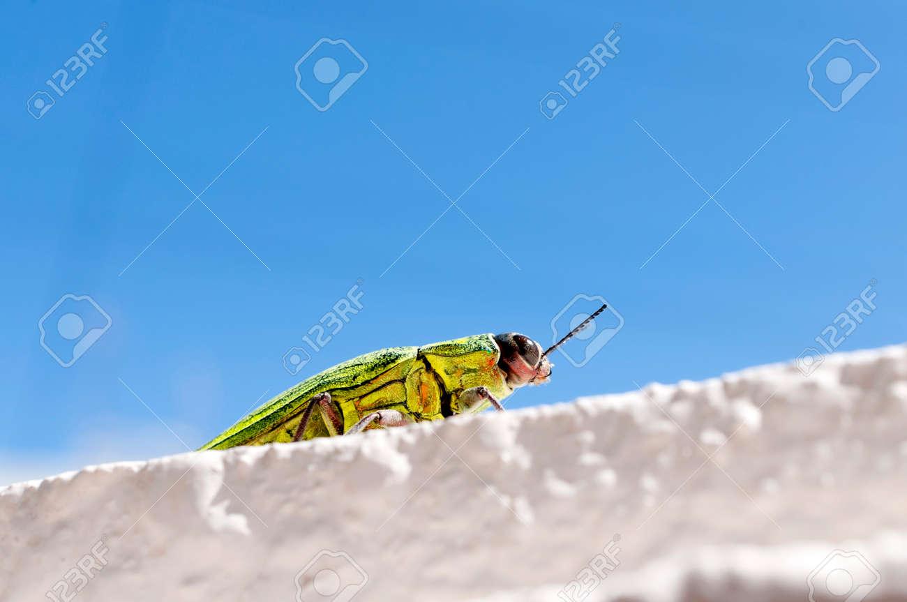 Jewel beetle, Buprestidae, Chrysodema dalmanni - 146291226