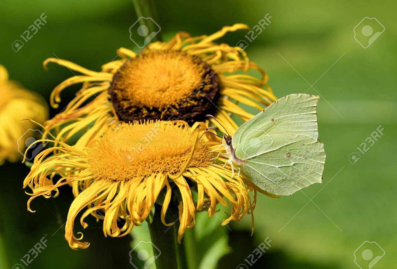 Brimstone Butterfly On Yellow Flower Stock Photo Picture And
