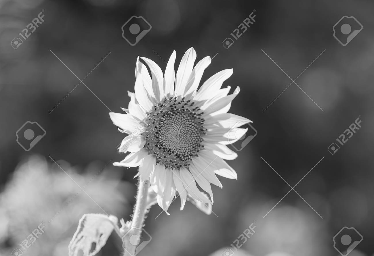 Helianthus Annuus Sunflower Seeds Of Ripen Sunflowers Black