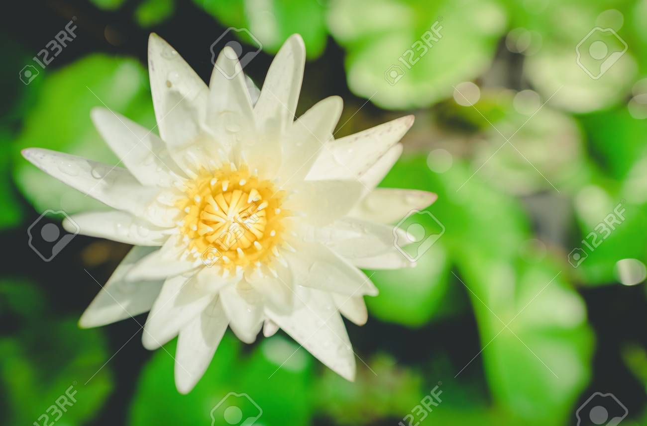 White Yellow Lotus Flower And Lotus Flower Plants Water Vintage