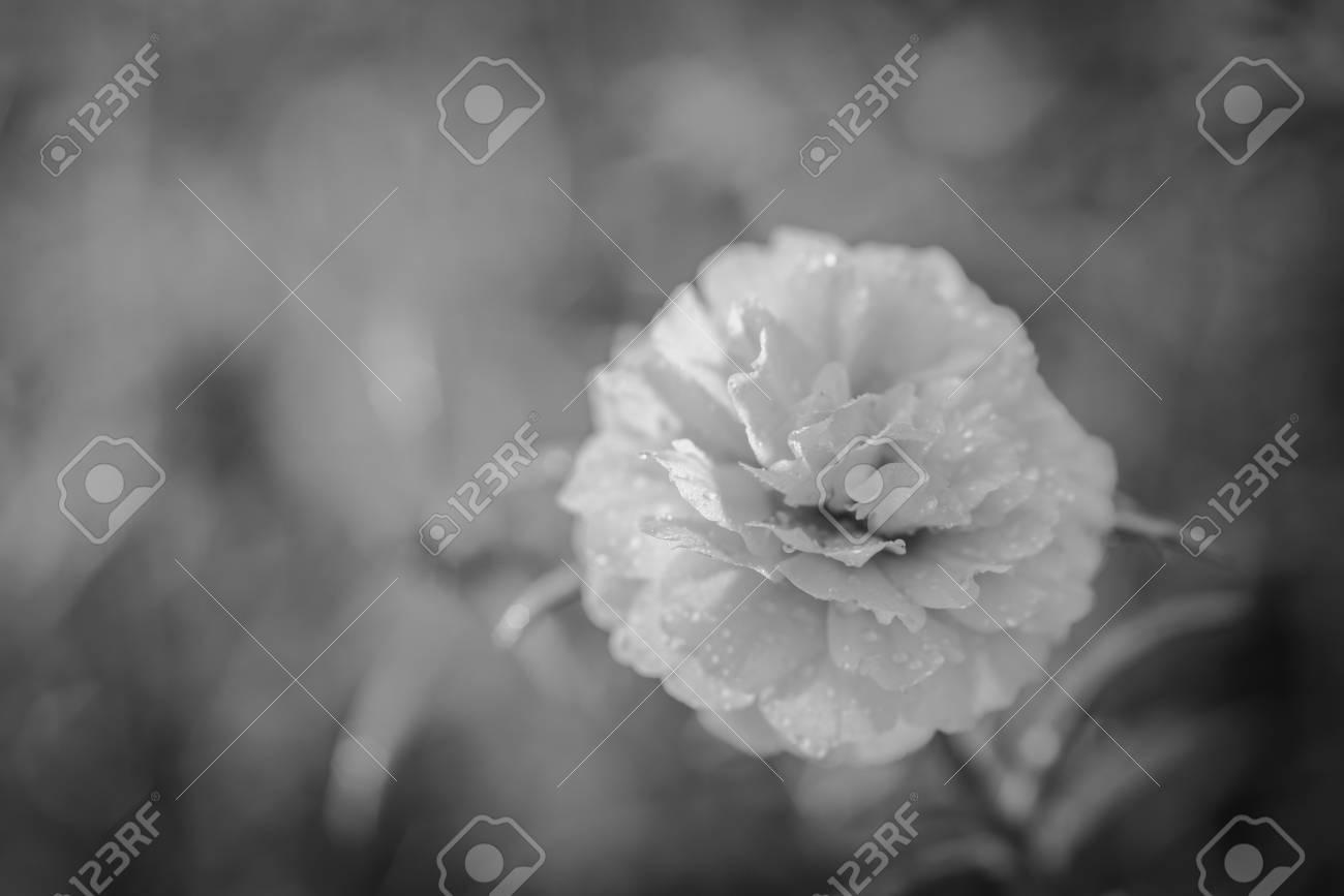 Pretty little flowers that is known in many names as common purslane pretty little flowers that is known in many names as common purslane verdolaga black mightylinksfo