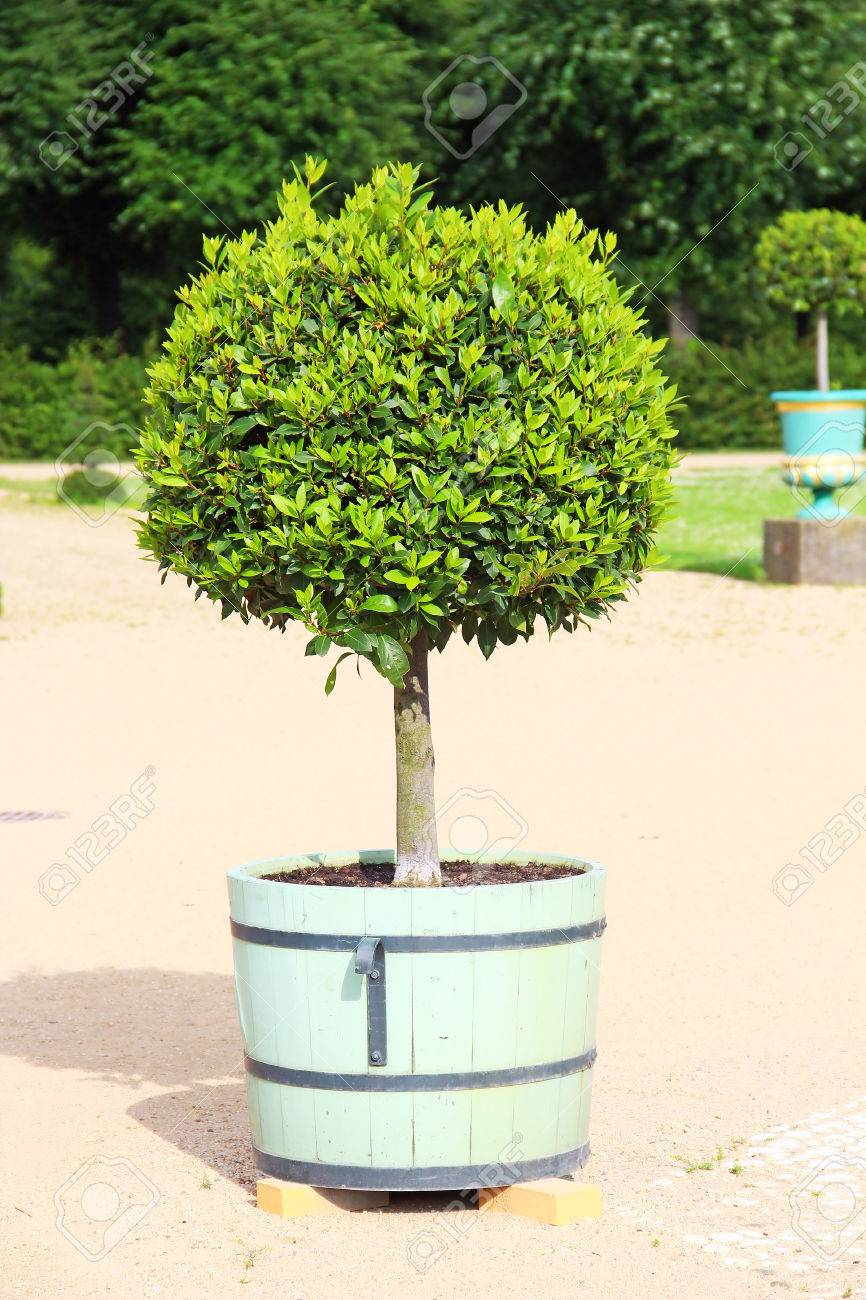 Small Topiary Tree In The Pot Decorates The Park Of Charlottenburg Stock Photo Picture And Royalty Free Image Image 32341767