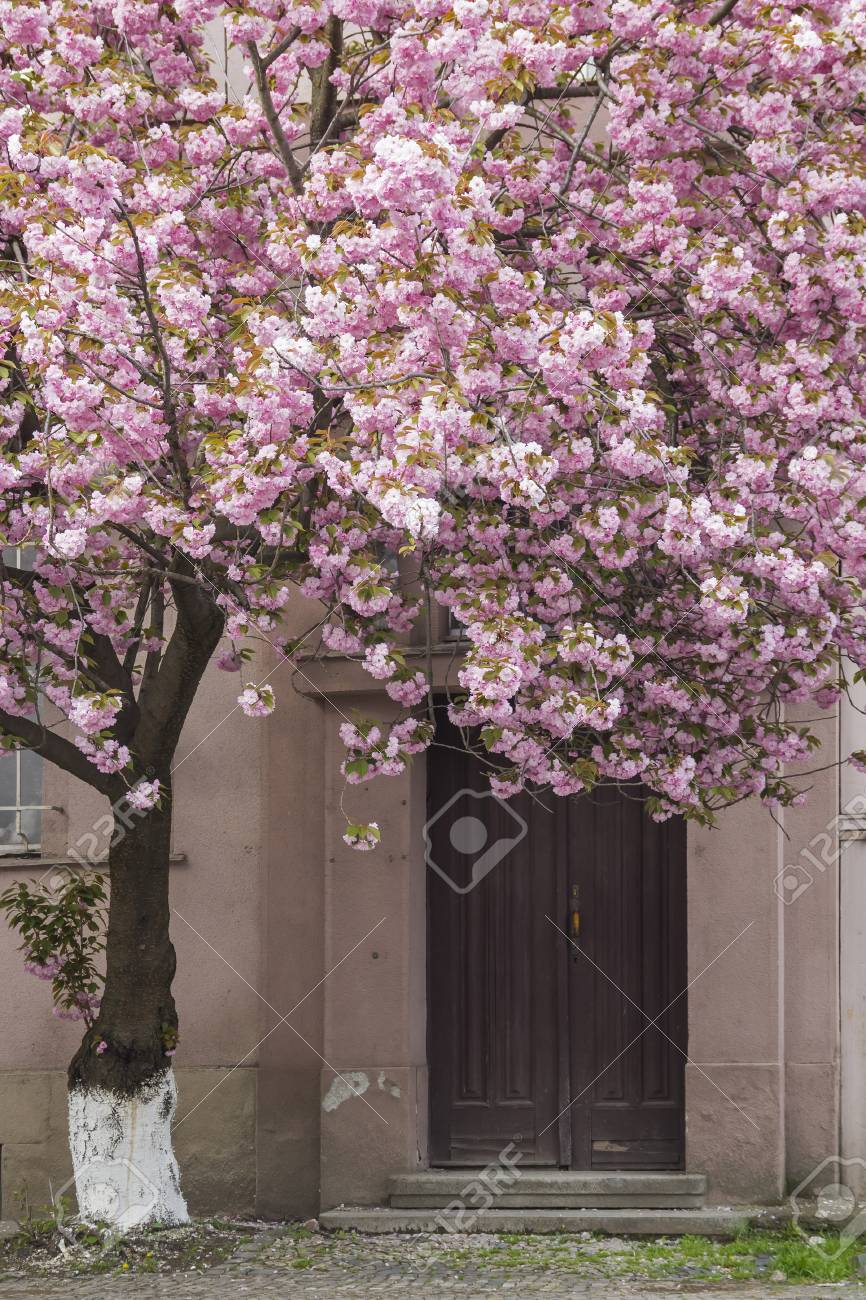 Pink Sakura Flowering Cherry Blossom Tree In Front Of The Building