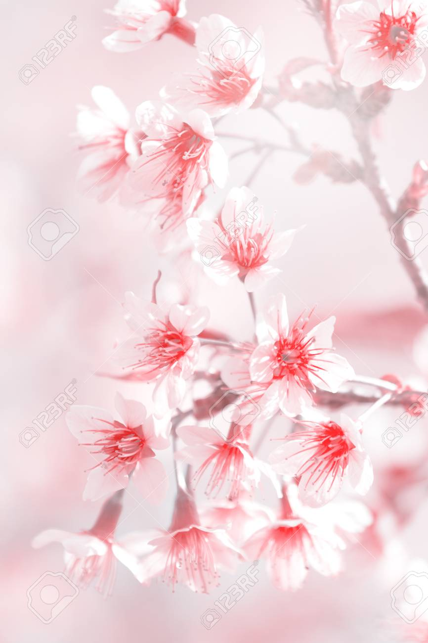Abstact Blurry Pink Blossom And Soft Light For Background