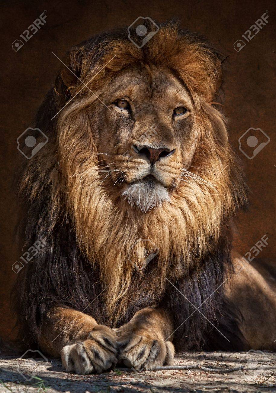 The lion (Panthera leo) is one of the four big cats in the genus Panthera, and a member of the family Felidae. With some males exceeding 250 kg (550 lb) in weigh Stock Photo - 9325735