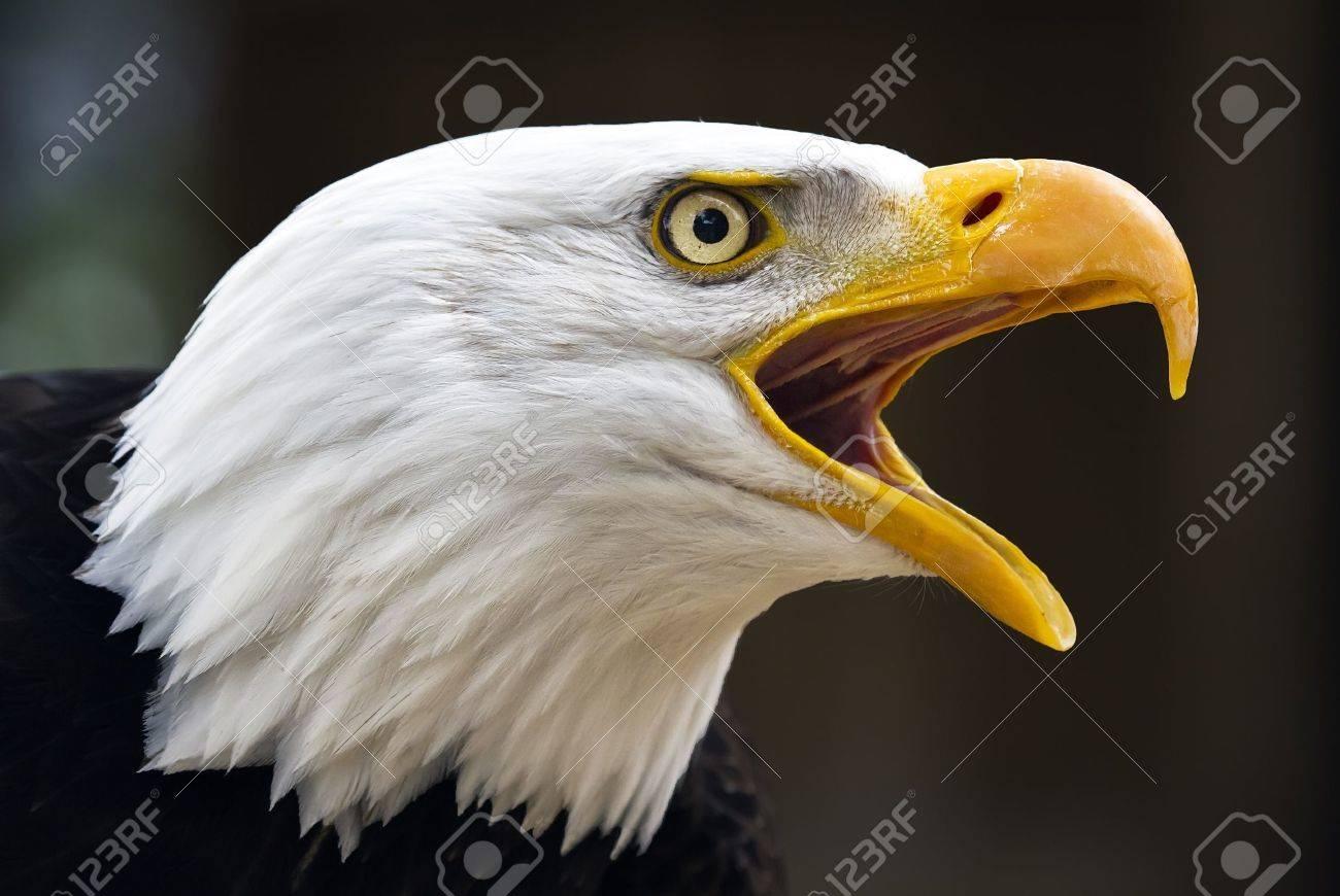 Portrait of a bald eagle  lat  haliaeetus leucocephalus Stock Photo - 13979925