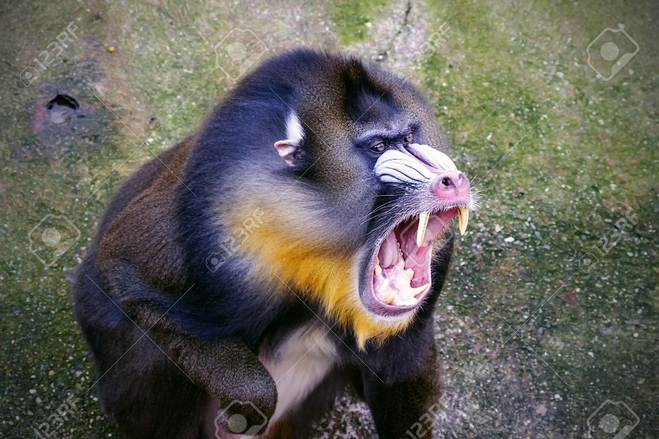 The mandrill  Mandrillus sphinx  is a primate of the Cercopithecidae  Old-world monkeys  family Stock Photo - 17165546