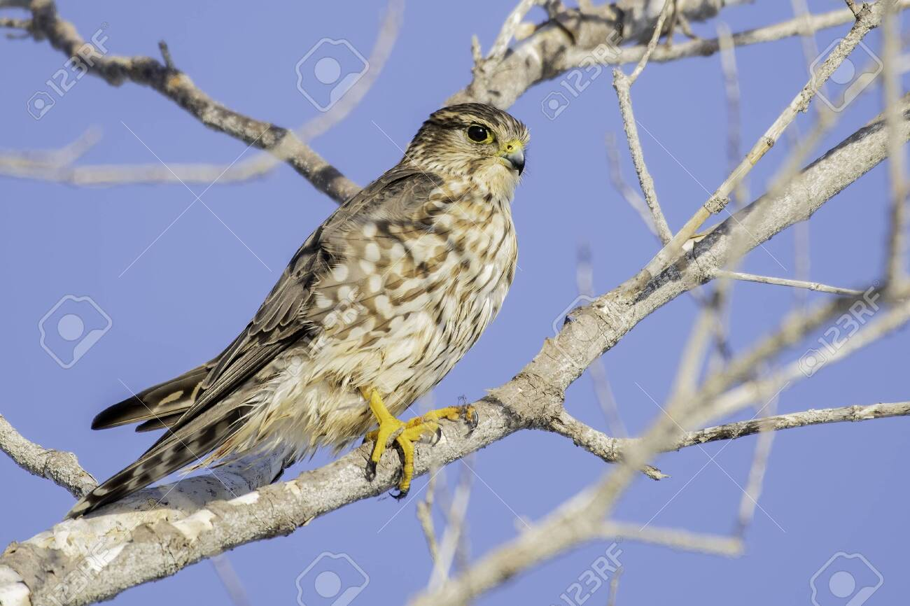 Merlin perched on a branch scanning the scenery for it's next meal - 137070946
