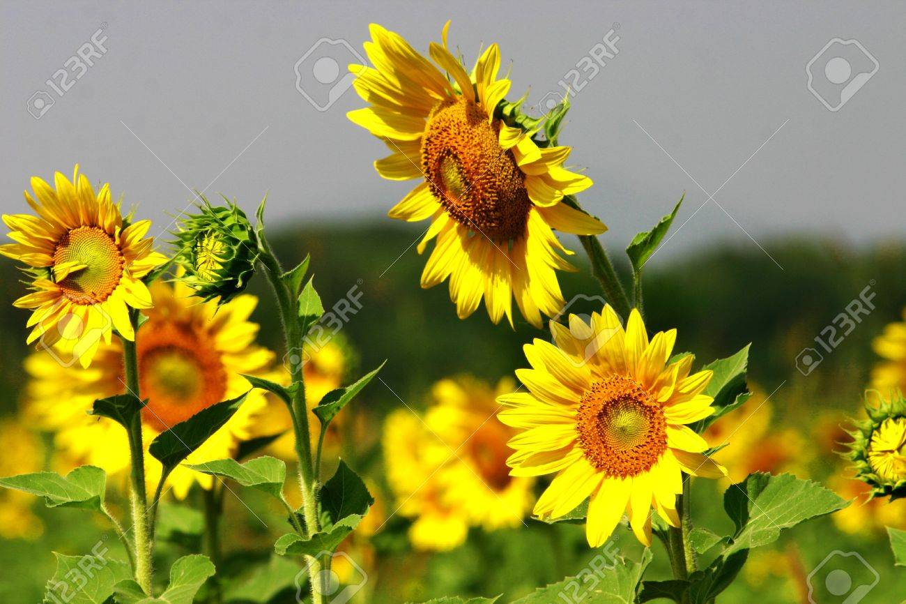 Beutiful beutiful sunflower stock photo, picture and royalty free image