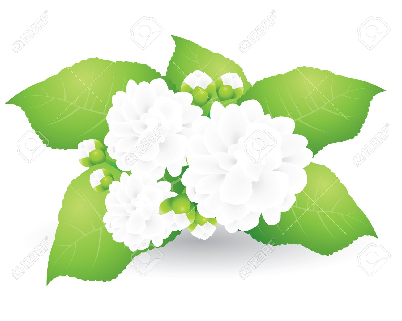 Jasmine Isolated On White Background Royalty Free Cliparts Vectors
