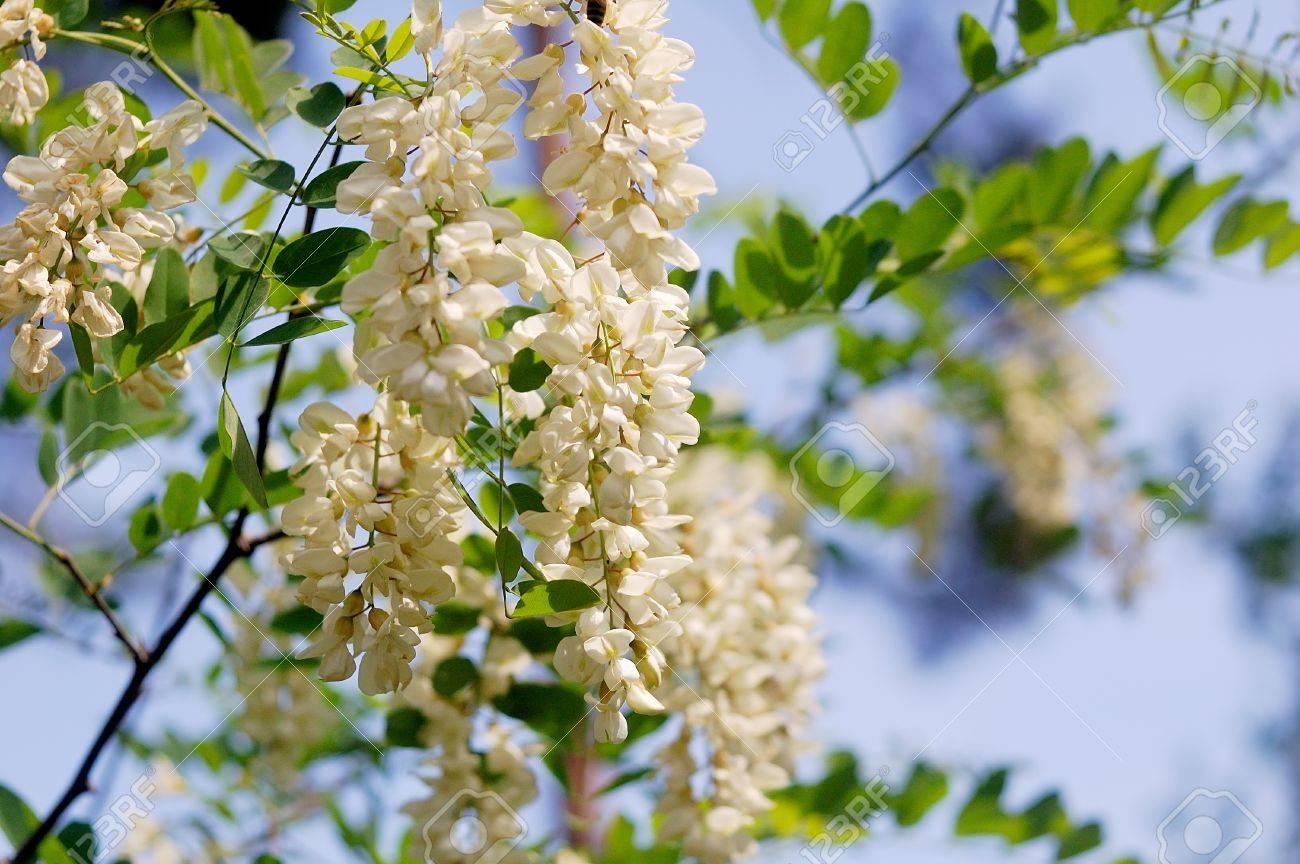 Rama De Flores De Acacia Blanca En El árbol Fotos, Retratos ...