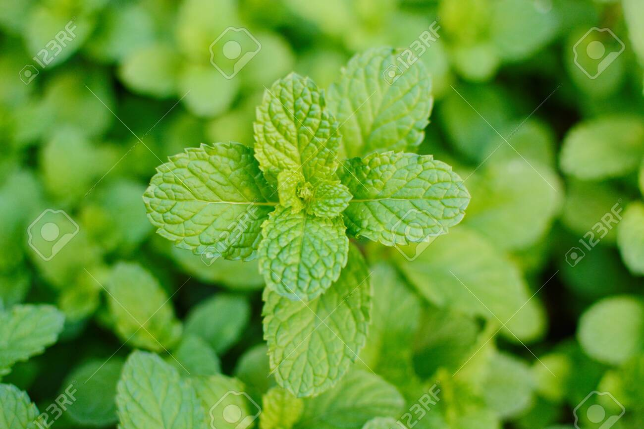 Mint Leaves, Peppermint Leaves Of Mint On Green Background, Closeup.. Stock  Photo, Picture And Royalty Free Image. Image 119079547.