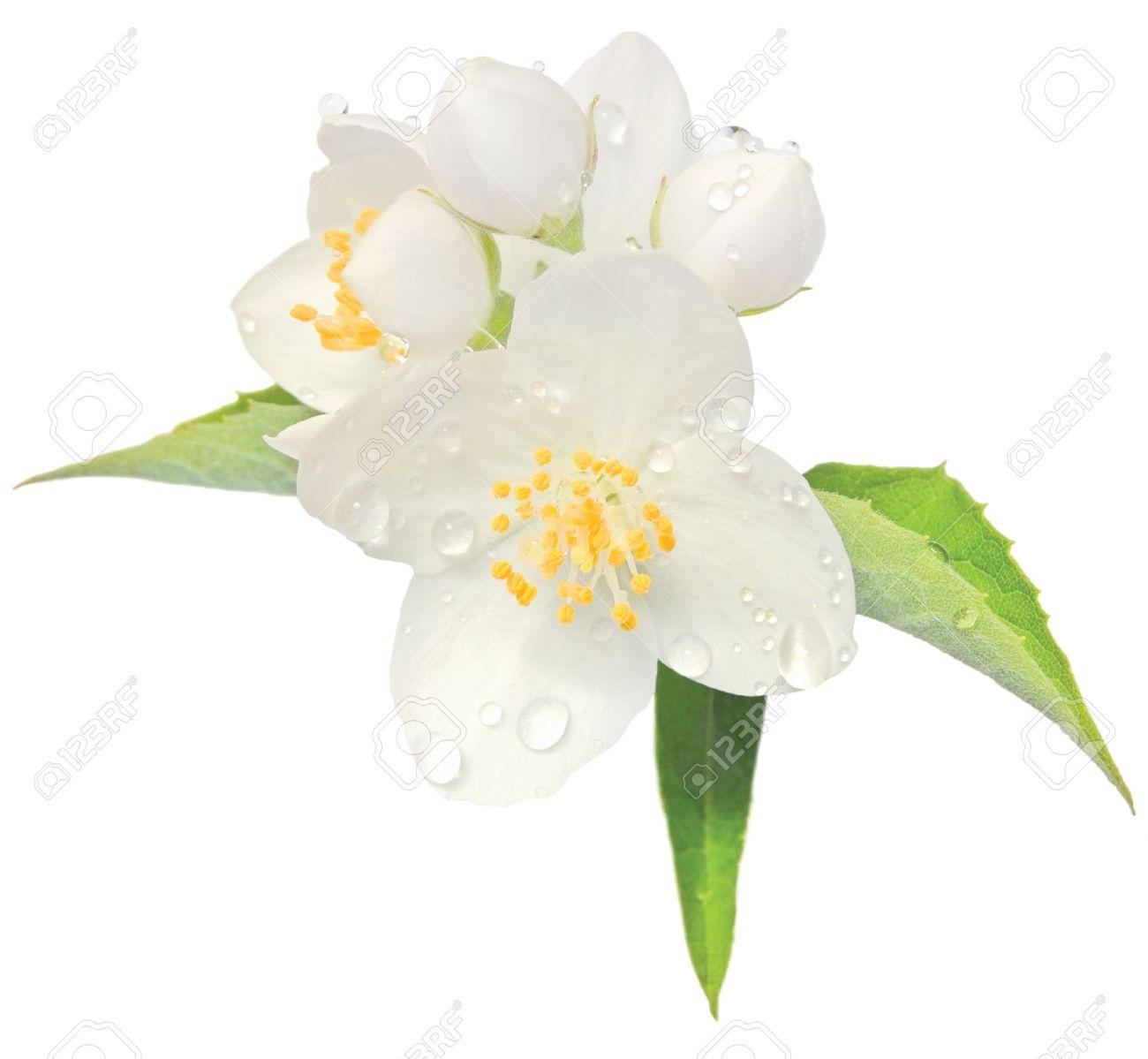 Orange Blossom Pictures Orange Blossom Jasmine