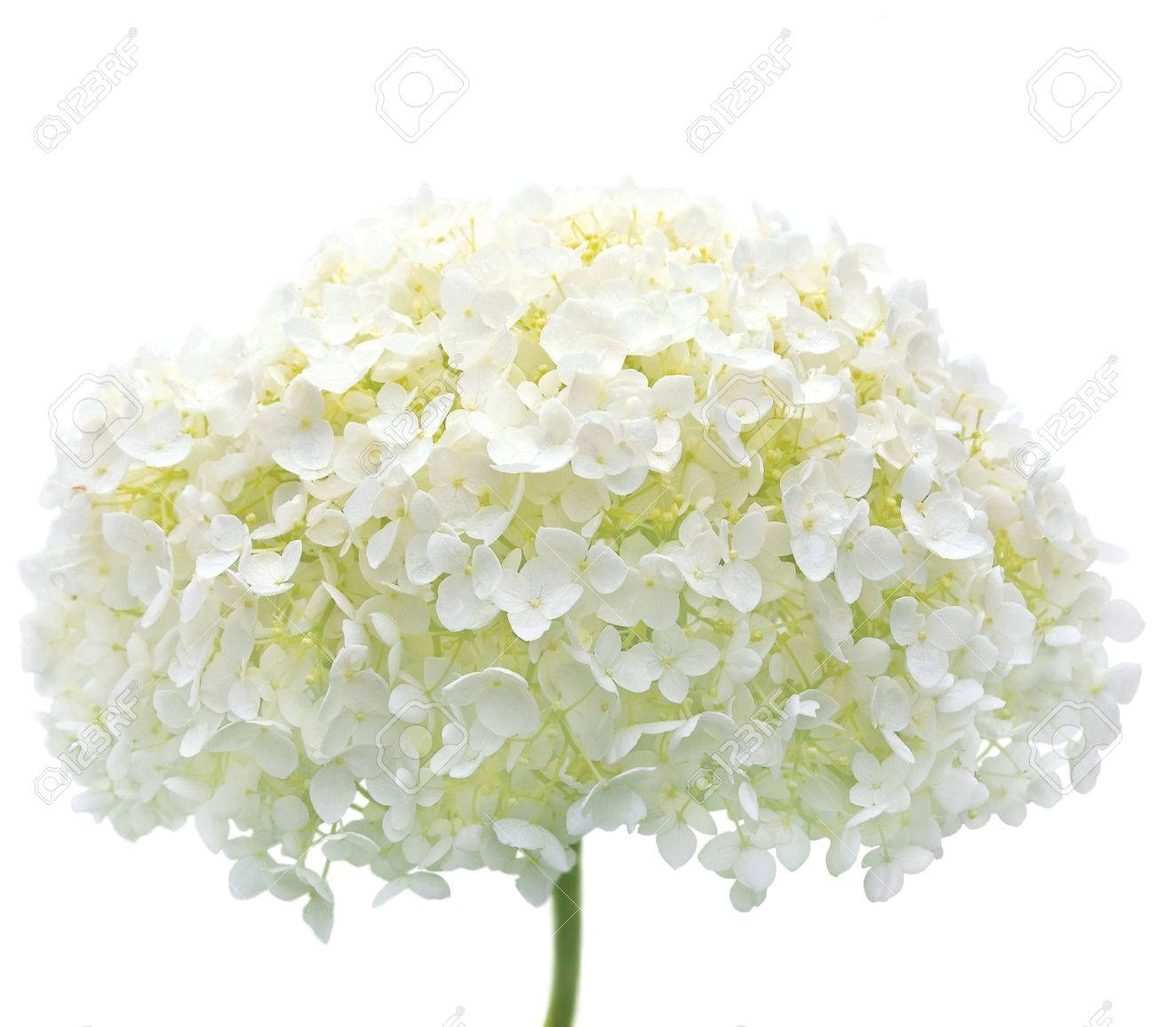 White Hydrangea Flower Blooms Isolated Macro Closeup Mophead