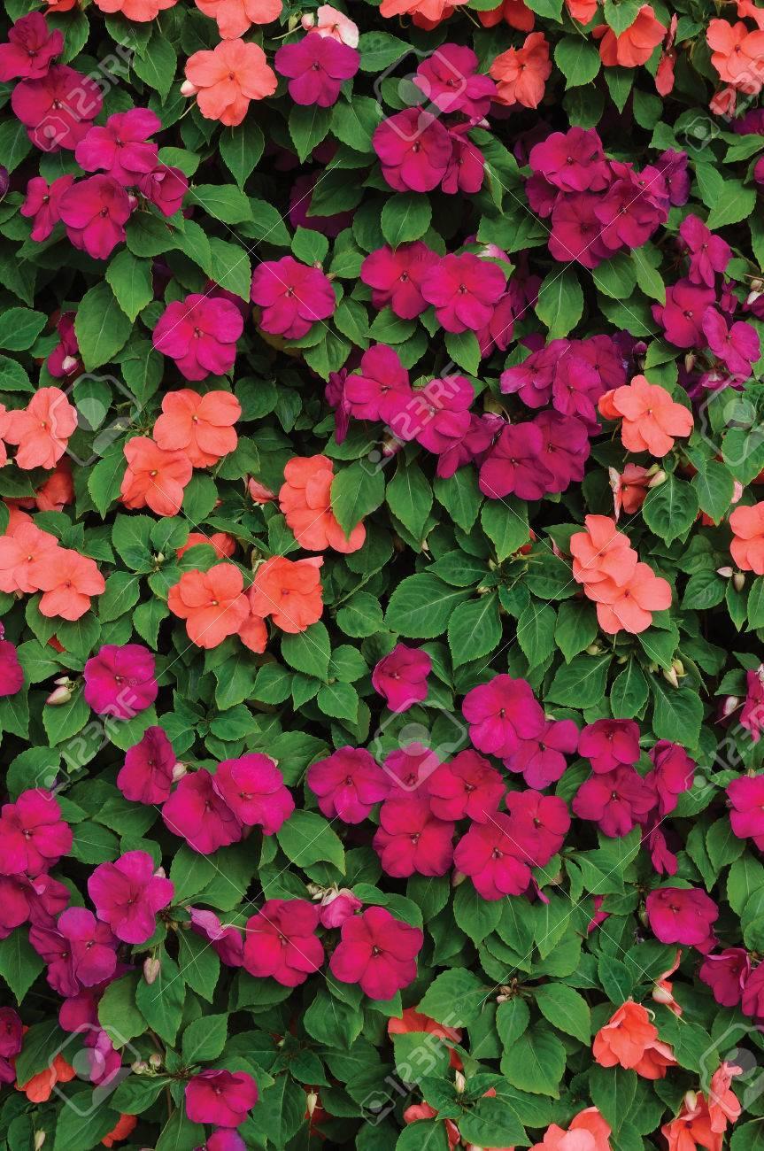 Impatiens Walleriana Sultanii Busy Lizzie Flowers Large Detailed
