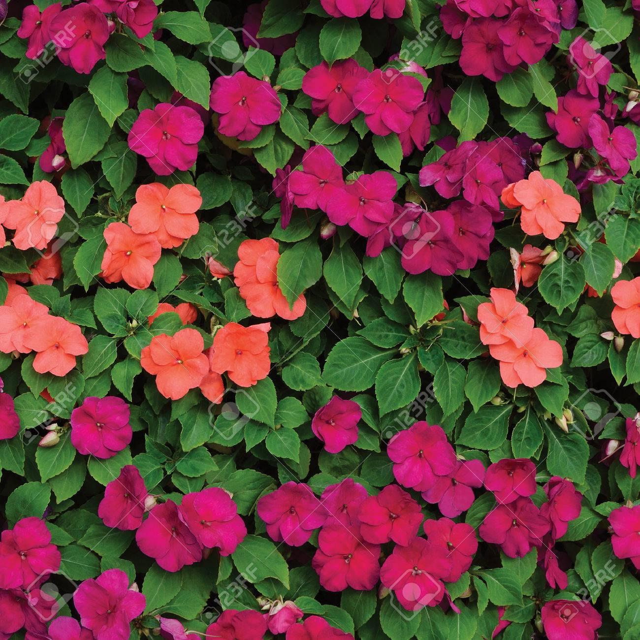 Impatiens Sultanii Busy Lizzie Fleurs Grand Detaillee Colorful Fond Vertical Motif Gros Plan Magenta Violet Rouge Rose Aka