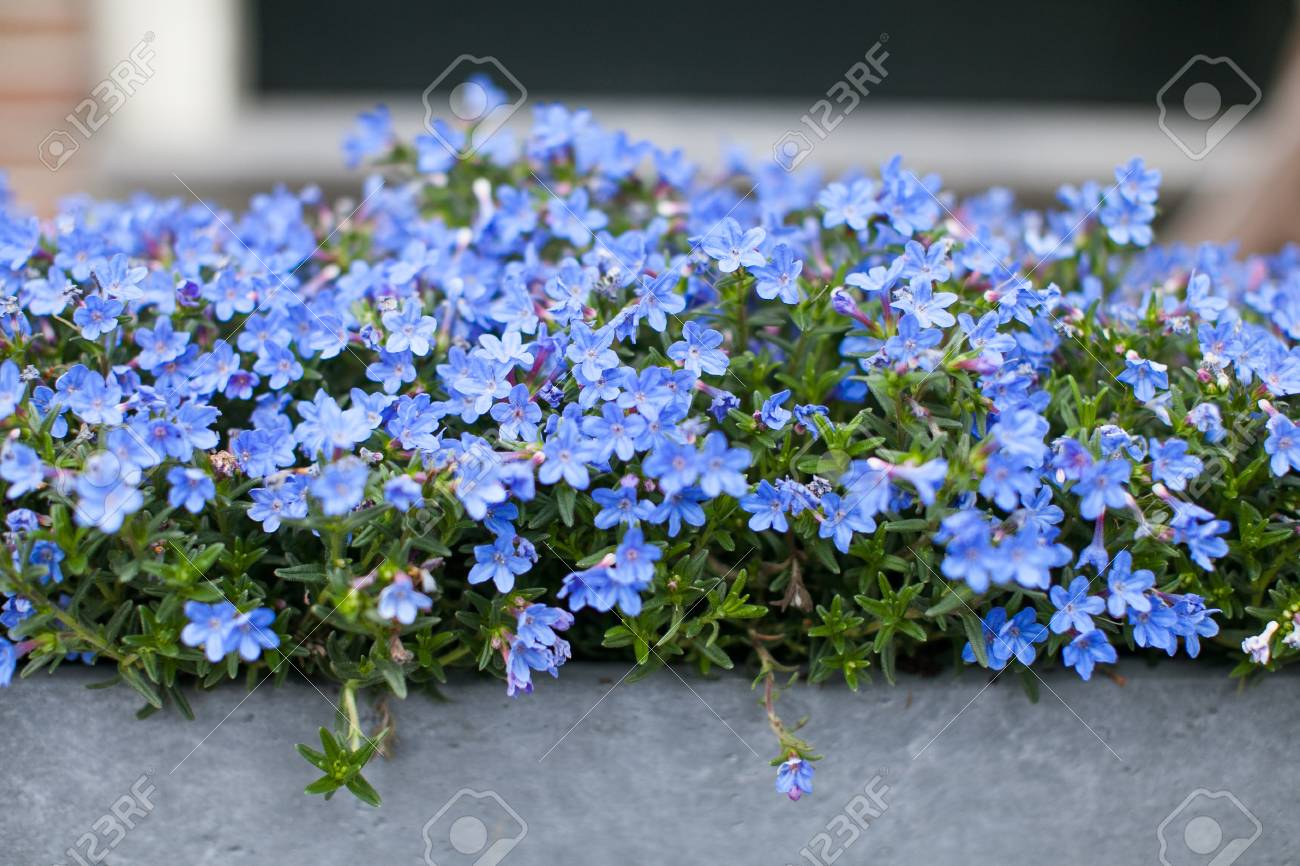 Blue Flowers Trailing Lobelia Sapphire Flowers Or Edging Lobelia