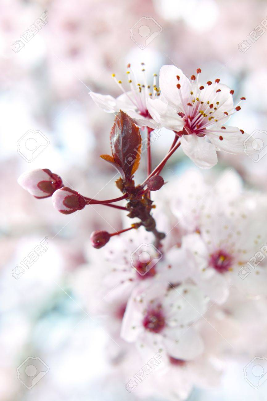close up of the blooming branch of the fruit tree stock photo
