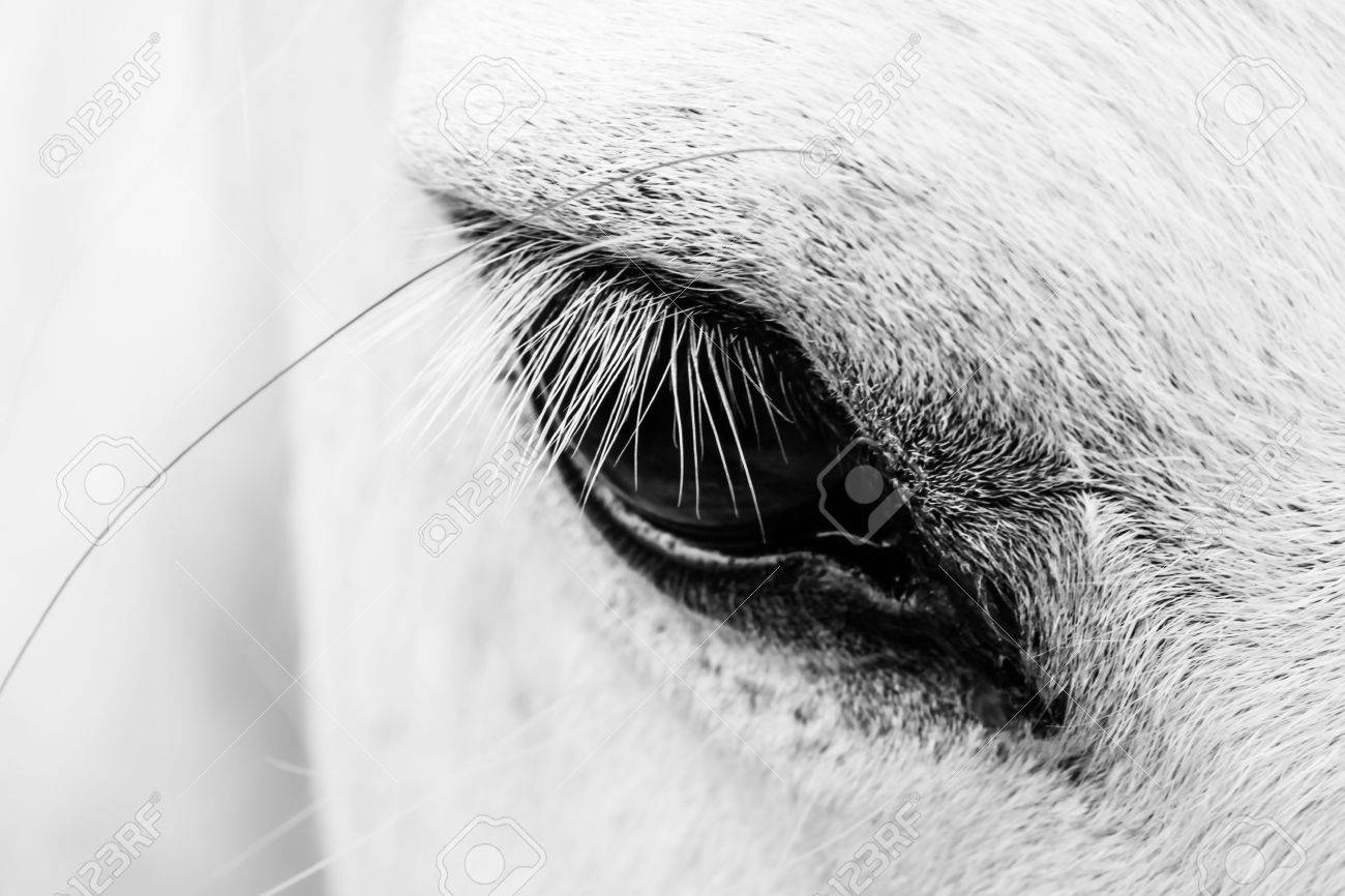 Macro Detail Of A White Horse Eye Stock Photo Picture And Royalty Free Image Image 15934681