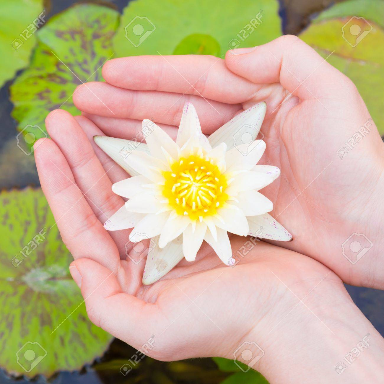 Woman Hands Holding Lotus Flower Against Leaves Background Stock