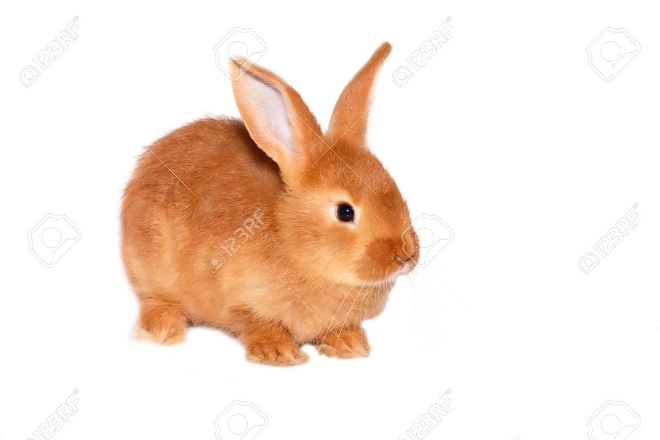 red wild rabbit on white background - 120669744
