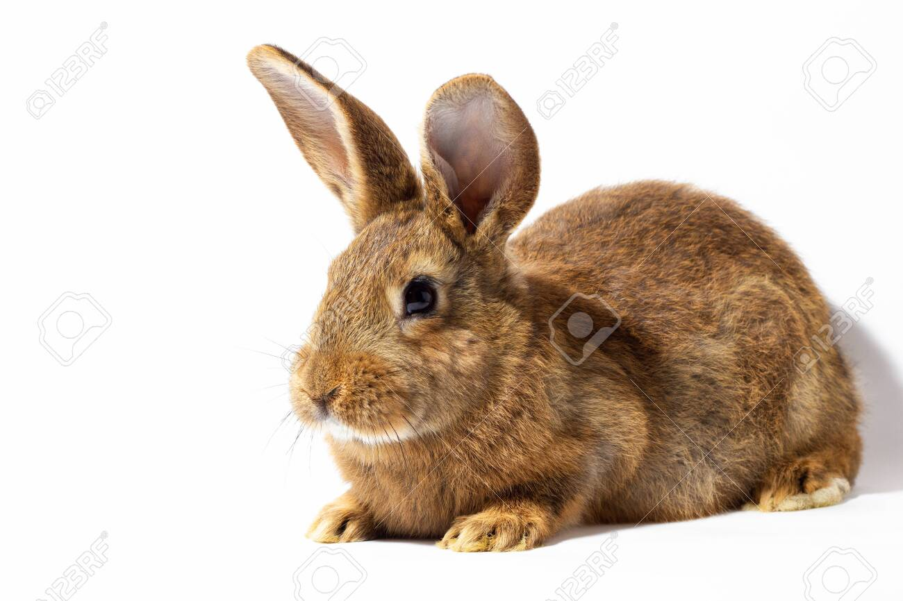 small fluffy red rabbit isolated on white background. Hare for Easter close-up. Red live rabbit on a white background, to the hare for spring holidays - 138730669