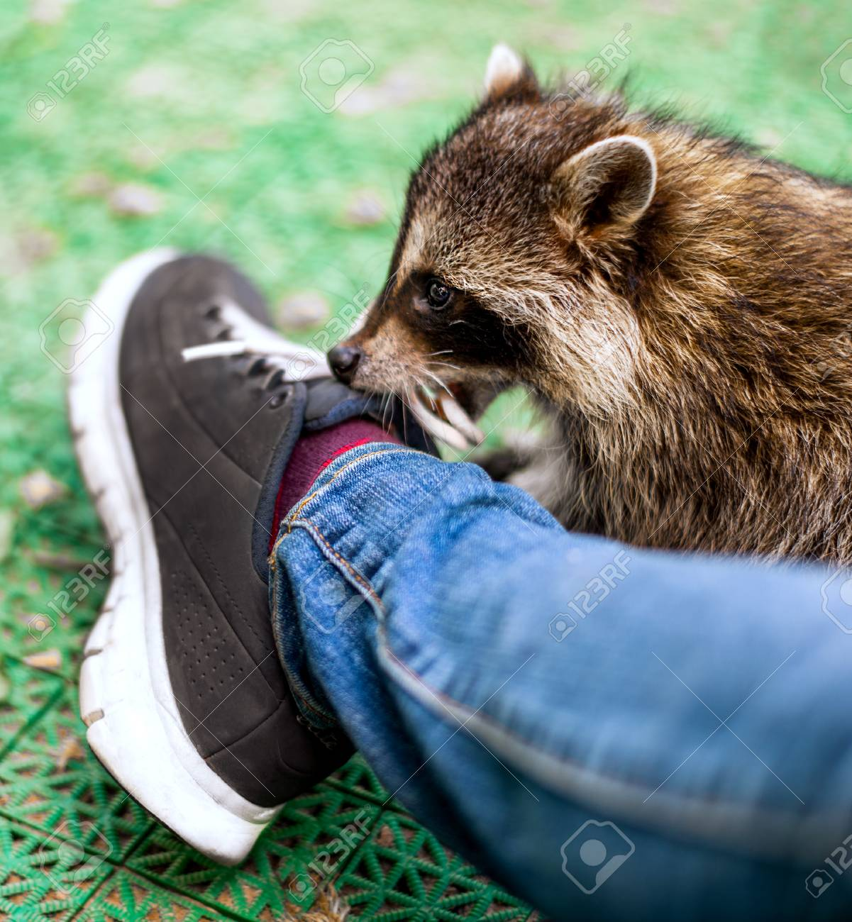b94c003325e51 Baby cub raccoon indoors playing with laces on shoes, nibbles