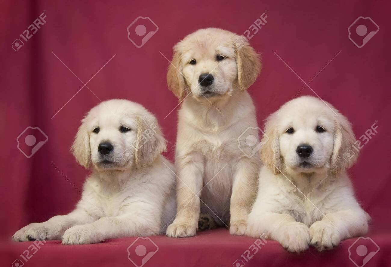 Three little smart puppy of breed Golden Retriever sit and lie on a red-pink background - 155710679