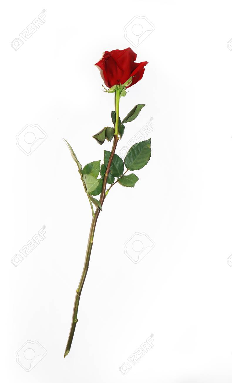 Beautiful Bud Of Red Rose On Long Stem Single Dark Red Ruby Stock Photo Picture And Royalty Free Image Image 116374256