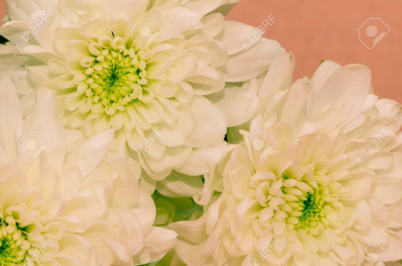 Detail Of White Chrysanthemum Flower Stock Photo Picture And