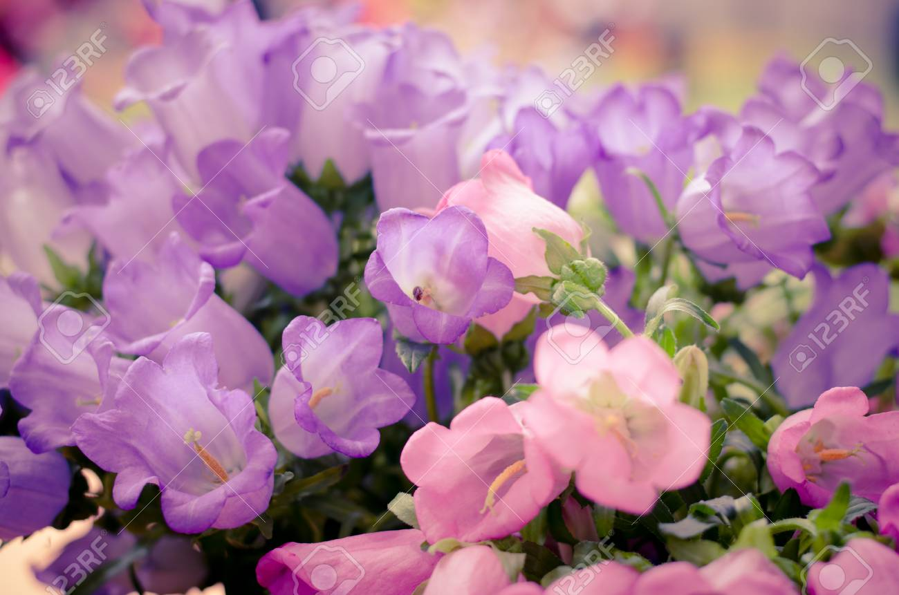 Group Of Beautiful White Pink Bell Flowers As Floral Background