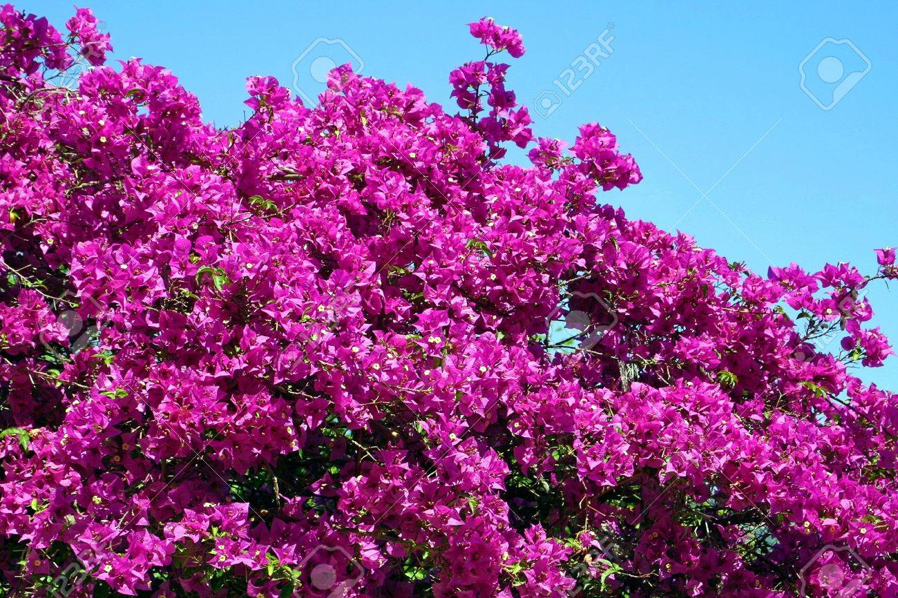 Bush Of Bougainvillea Flowers In The Garden Stock Photo Picture