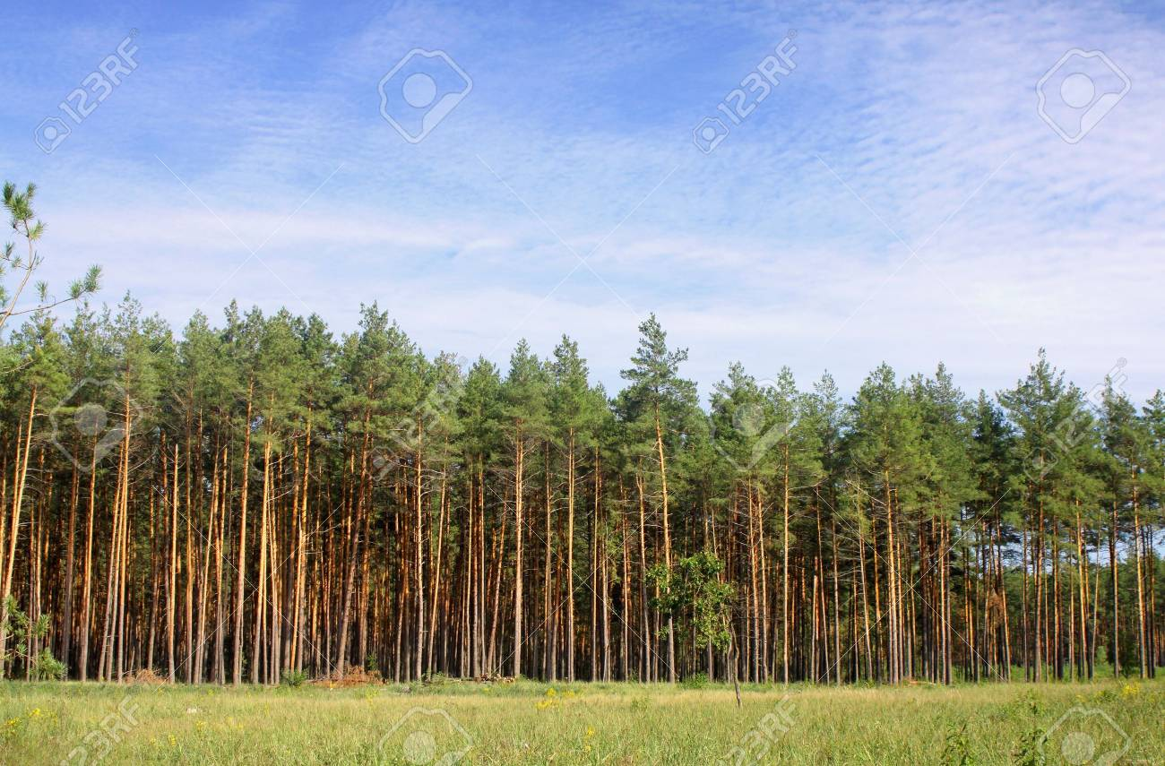 Wild forest with green pines Stock Photo - 9134748